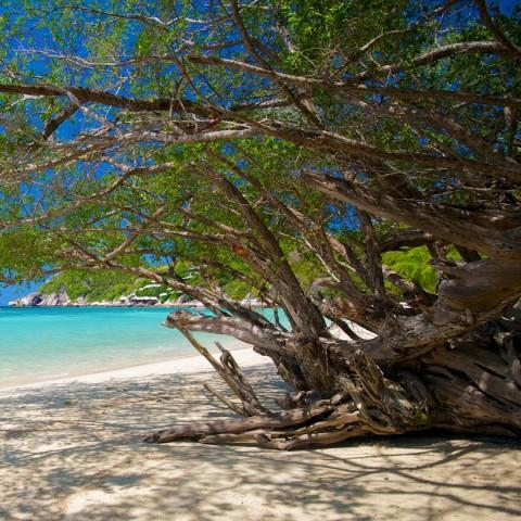 ต้นเทียนทะเลที่เกาะเต่า
