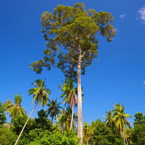 ธรรมชาติของเกาะเต่า - ต้นยางนา