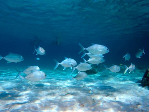 Trevally at Aow Leuk - Koh Tao snorkelling
