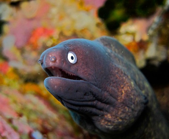White-eyed moray, Koh Tao Marine Life