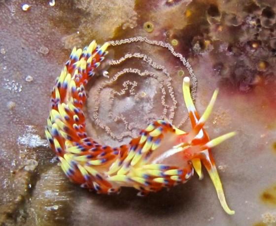 Indica nudibranch, Koh Tao Marine Life