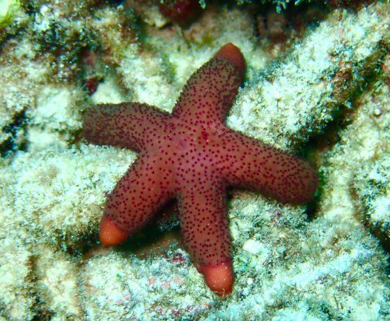 Koh Tao Starfish