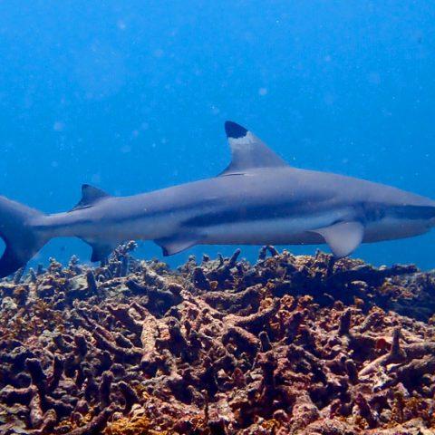 Blacktip Reef Shark at Shark Bay, Koh Tao
