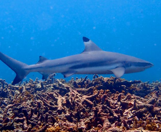 Koh Tao Blacktip Reef Shark
