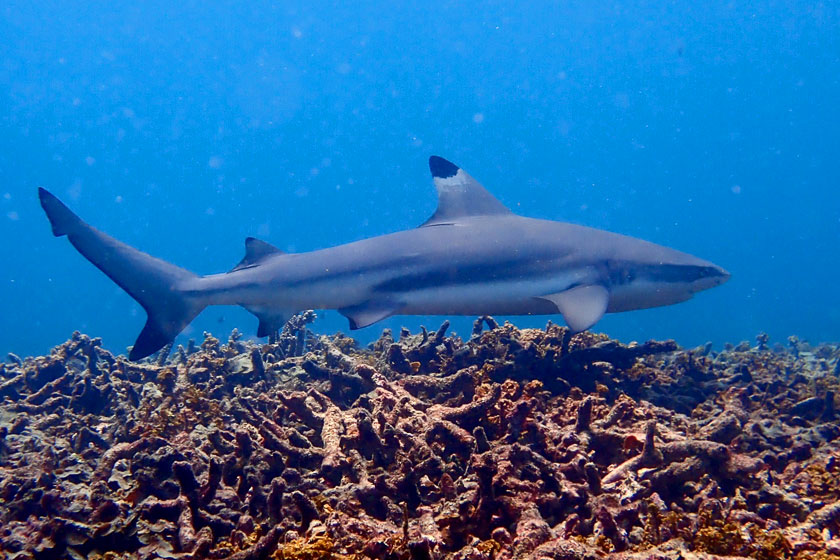 Blacktip Reef Shark at Shark Bay, Koh Tao