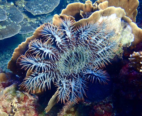 Koh Tao Crown of Thorns Starfish