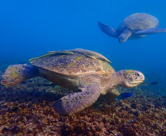 Green Turtle, Koh Tao