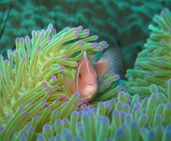 Pink anemone fish, Koh Tao Marine Life
