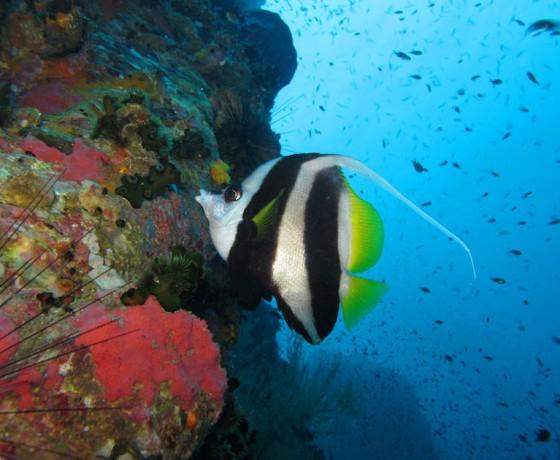 Longfin bannerfish, Koh Tao Marine Life