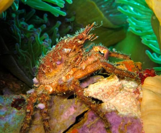 Spider crab, Koh Tao Marine Life