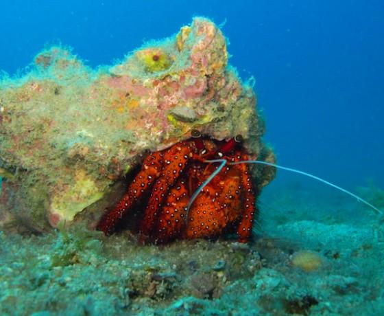 Hermit crab, Koh Tao Marine Life