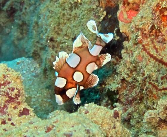 Harlequin Sweetlips (juvenile), Koh Tao Marine Life