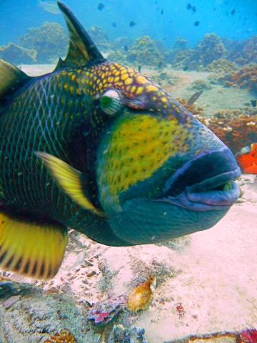 Titan Trigger Fish at Green Rock Koh Tao dive sites