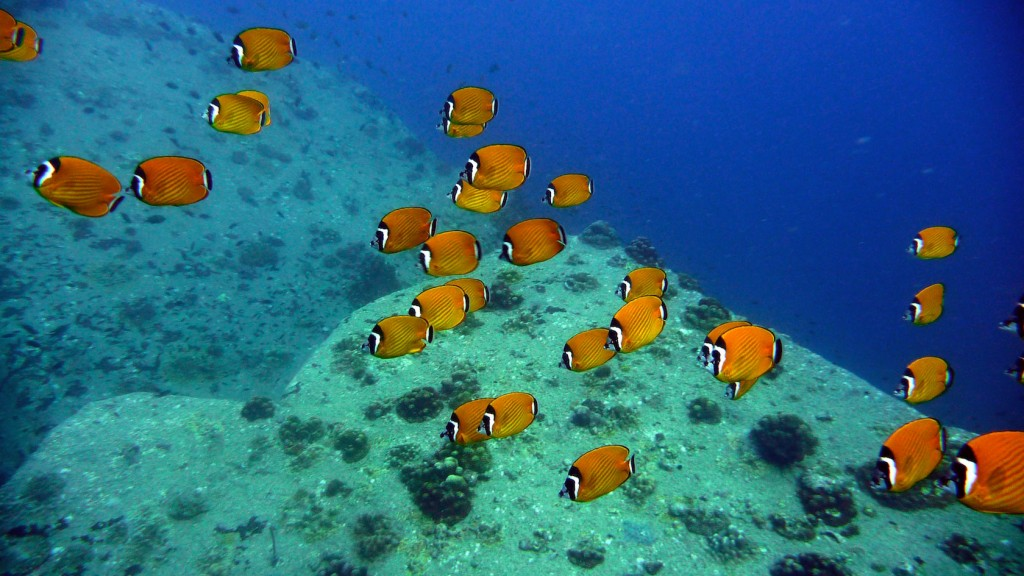 ฝูงปลาผีเสื้อที่จุดดำน้ำกงทรายแดง เกาะเต่า