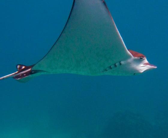 Spotted eagle ray, Koh Tao Marine Life