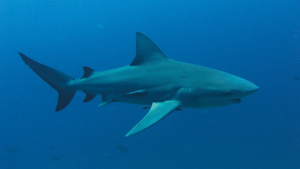 Koh Tao Eco - Bull shark