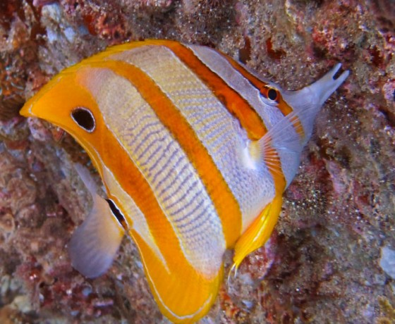 Beaked coral fish, Koh Tao Marine Life
