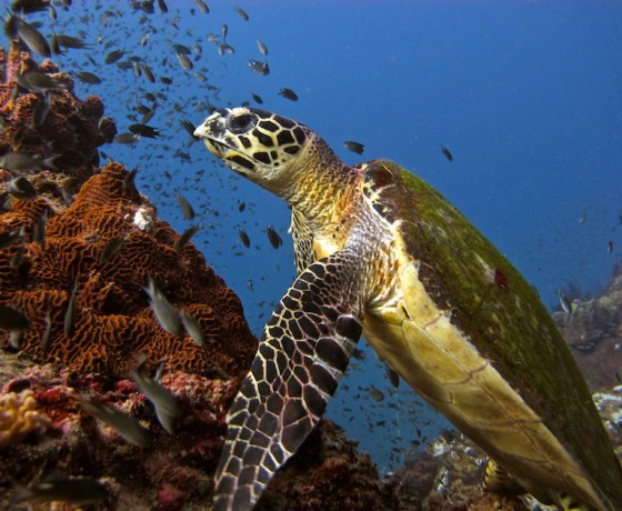 Hawksbill turtle, Koh Tao diving