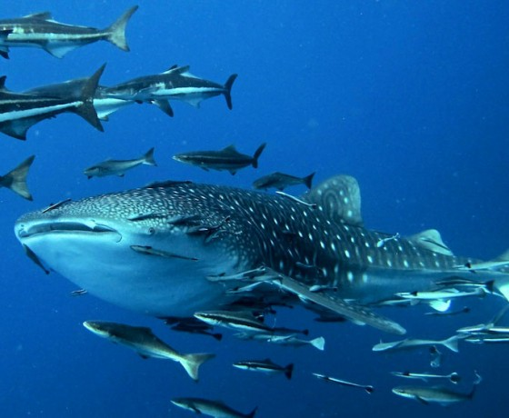 Whale shark (and Cobia), Koh Tao diving
