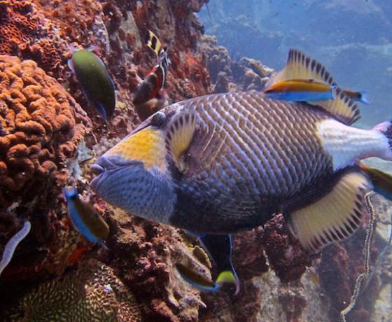 Titan trigger fish, Koh Tao Marine Life