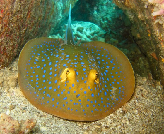Blue-spotted stingray, Koh Tao Marine Life