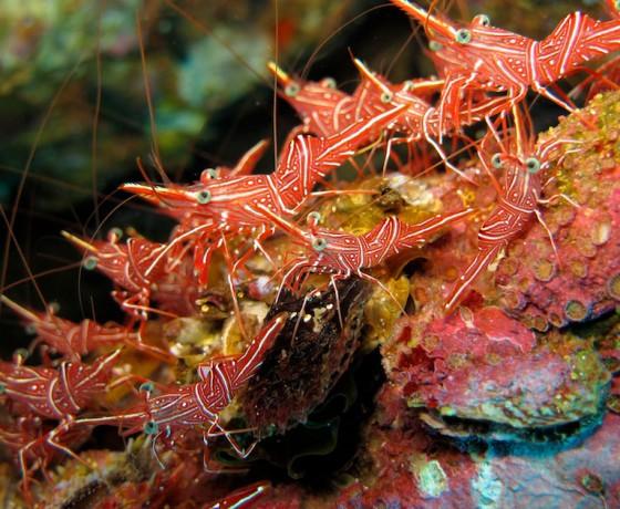 Durban dancing shrimp, Koh Tao Marine Life