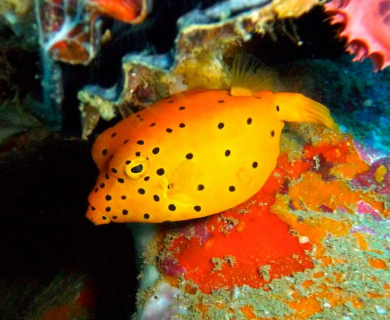 Yellow boxfish, Koh Tao Marine Life