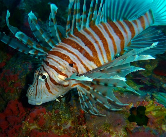 Common lionfish, Koh Tao diving