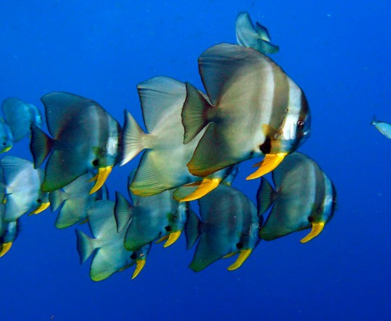 Tailfin batfish, Koh Tao diving