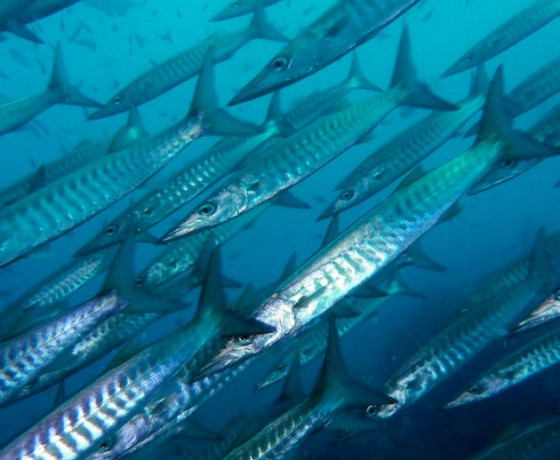Chevron barracuda, Koh Tao diving
