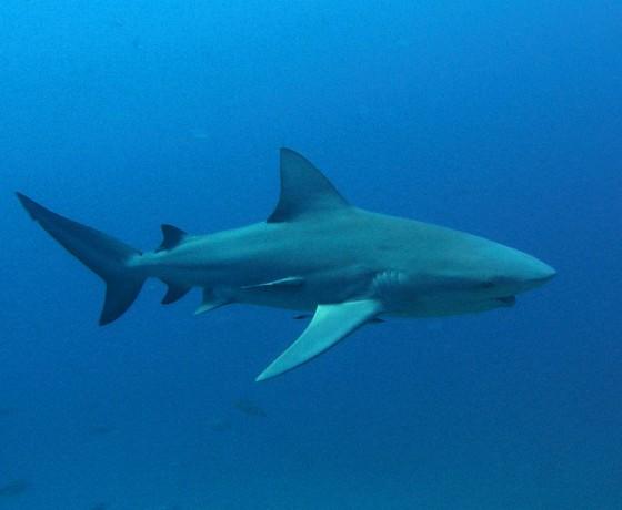 Bull shark, Koh Tao Marine Life