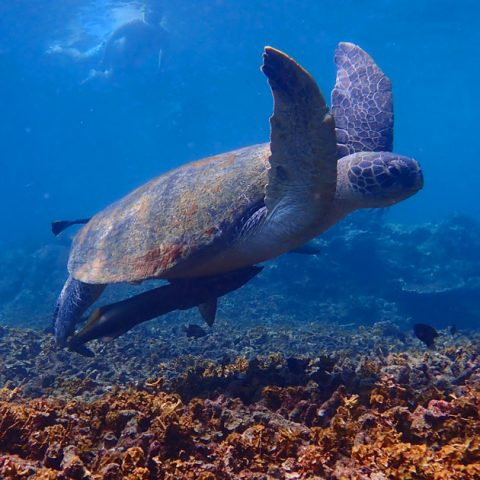 Snorkelling with turtle at Shark Bay, Koh Tao