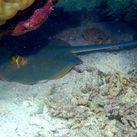 Blue-spotted stingray at Freedom Beach, Koh Tao