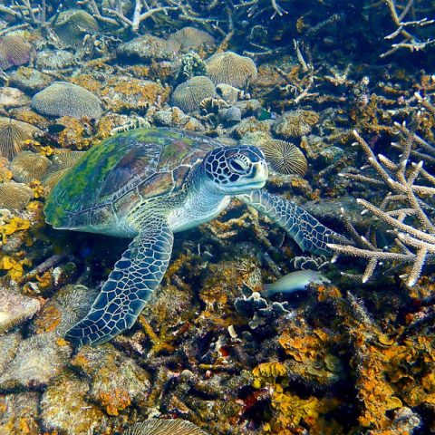 Green turtle in Tanote Bay, Koh Tao