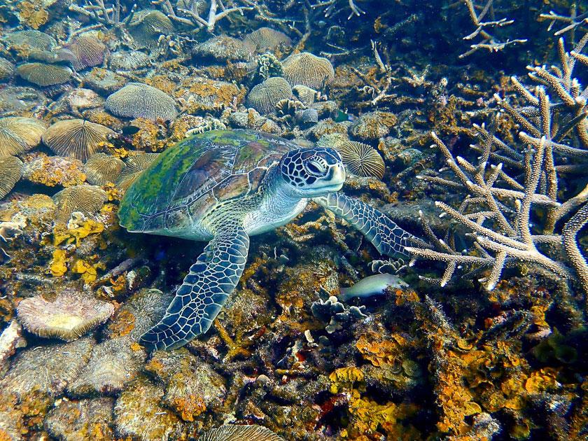 Green turtle in Tanote Bay, Koh Tao