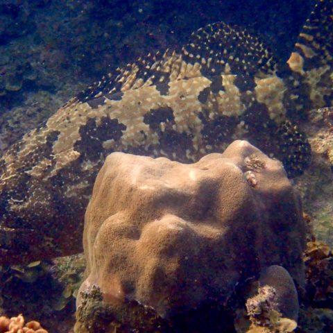 Giant Grouper at June Juea Bay, Koh Tao
