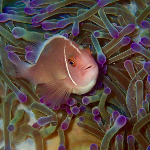 Anemone Fish at June Juea Bay, Koh Tao