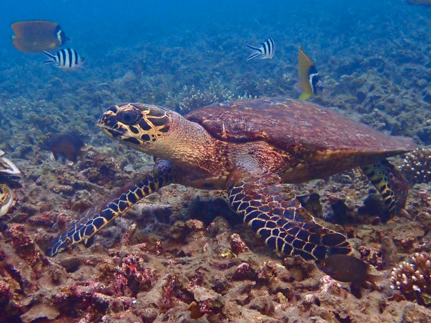 Hawksbill turtle at Cape je Ta Kang, Koh Tao