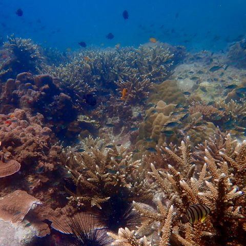 Hard corals at Shark Island, Koh Tao