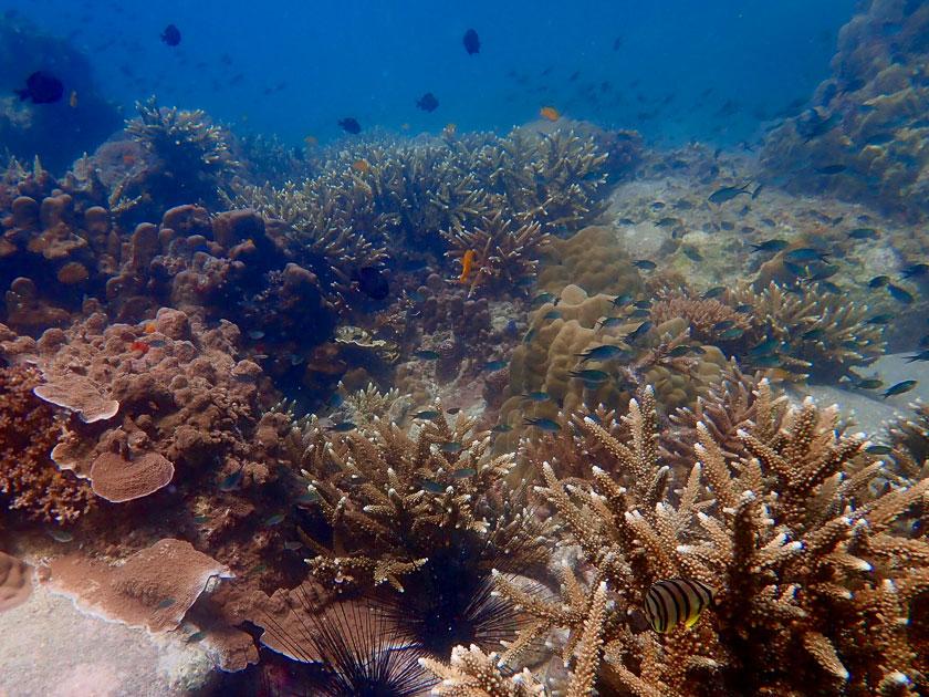 Hard corals at Shark Island, Koh Tao