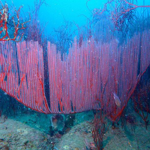Harp coral in Lad Bay, Koh Tao