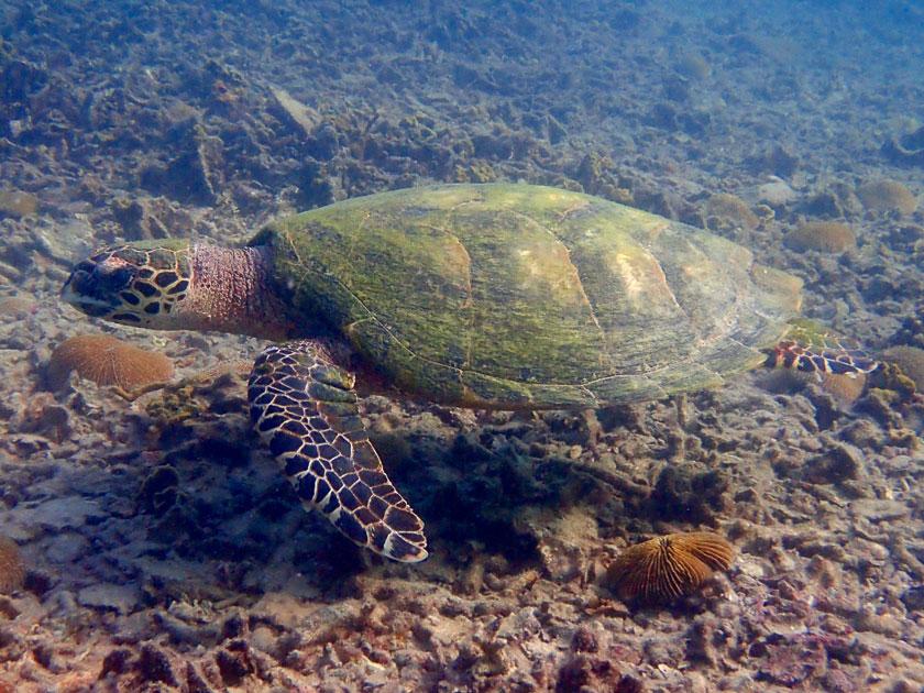 Hawksbill turtle at Jansom Bay, Koh Tao