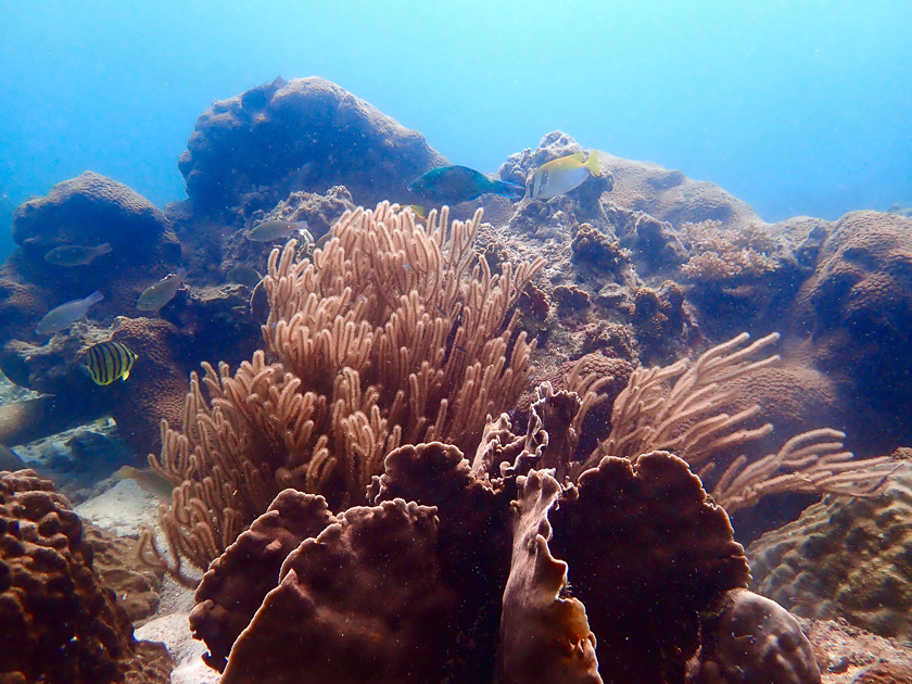 Coral at Jansom Bay, Koh Tao
