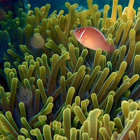 Marine life at Jansom Bay, Koh Tao