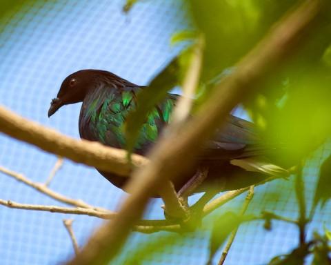 Koh Tao Nature - Nicobar Pigeon