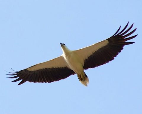 นกออก หรือ อินทรีทะเลปากขาว ที่เกาะเต่า