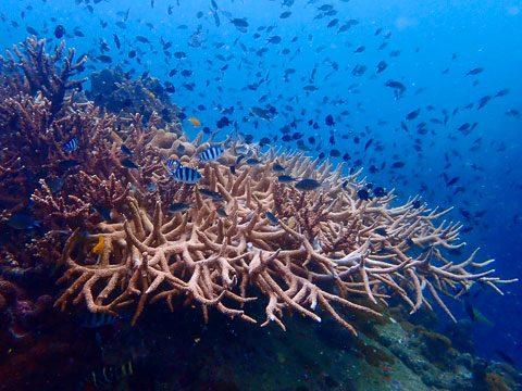 Koh Tao Snorkelling see staghorn coral