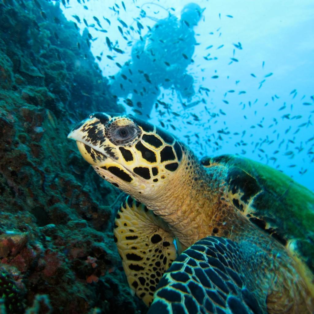 Turtle at Hin Wong Pinnacle, Koh Tao dive sites