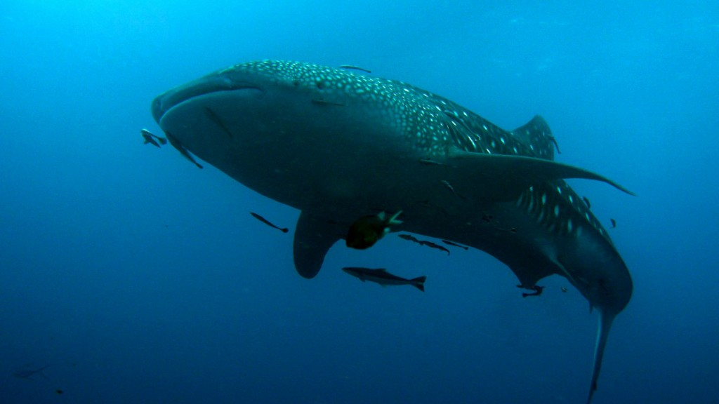Whale Shark in Sail Rock Koh Tao dive sites