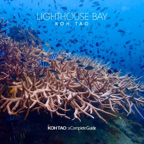 Staghorn coral, Lighthouse Bay, Koh Tao